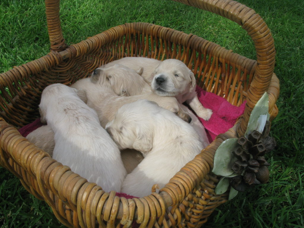 Buying a Puppy – The Golden Retriever Club of NSW Inc